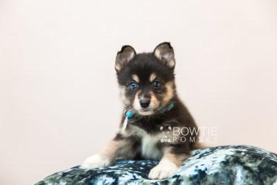 puppy87 week7 BowTiePomsky.com Bowtie Pomsky Puppy For Sale Husky Pomeranian Mini Dog Spokane WA Breeder Blue Eyes Pomskies Celebrity Puppy web2