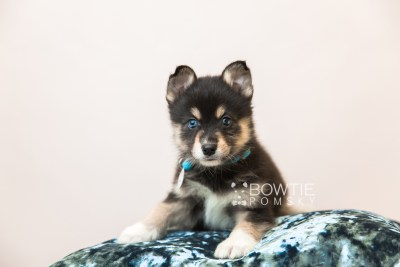 puppy87 week7 BowTiePomsky.com Bowtie Pomsky Puppy For Sale Husky Pomeranian Mini Dog Spokane WA Breeder Blue Eyes Pomskies Celebrity Puppy web2