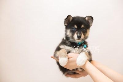 puppy87 week7 BowTiePomsky.com Bowtie Pomsky Puppy For Sale Husky Pomeranian Mini Dog Spokane WA Breeder Blue Eyes Pomskies Celebrity Puppy web6