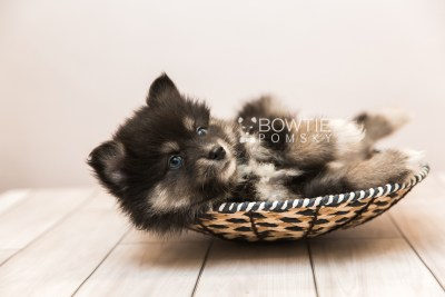 puppy88 week7 BowTiePomsky.com Bowtie Pomsky Puppy For Sale Husky Pomeranian Mini Dog Spokane WA Breeder Blue Eyes Pomskies Celebrity Puppy web2