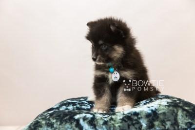 puppy88 week7 BowTiePomsky.com Bowtie Pomsky Puppy For Sale Husky Pomeranian Mini Dog Spokane WA Breeder Blue Eyes Pomskies Celebrity Puppy web5