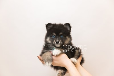 puppy88 week7 BowTiePomsky.com Bowtie Pomsky Puppy For Sale Husky Pomeranian Mini Dog Spokane WA Breeder Blue Eyes Pomskies Celebrity Puppy web6