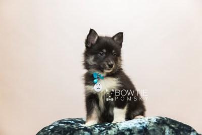 puppy89 week7 BowTiePomsky.com Bowtie Pomsky Puppy For Sale Husky Pomeranian Mini Dog Spokane WA Breeder Blue Eyes Pomskies Celebrity Puppy web3