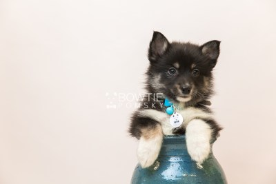 puppy89 week7 BowTiePomsky.com Bowtie Pomsky Puppy For Sale Husky Pomeranian Mini Dog Spokane WA Breeder Blue Eyes Pomskies Celebrity Puppy web4