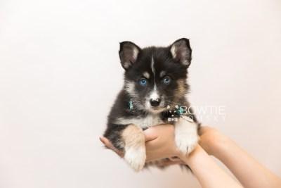 puppy90 week7 BowTiePomsky.com Bowtie Pomsky Puppy For Sale Husky Pomeranian Mini Dog Spokane WA Breeder Blue Eyes Pomskies Celebrity Puppy web6