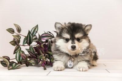 puppy91 week7 BowTiePomsky.com Bowtie Pomsky Puppy For Sale Husky Pomeranian Mini Dog Spokane WA Breeder Blue Eyes Pomskies Celebrity Puppy web1