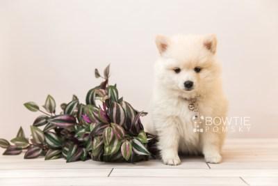 puppy92 week7 BowTiePomsky.com Bowtie Pomsky Puppy For Sale Husky Pomeranian Mini Dog Spokane WA Breeder Blue Eyes Pomskies Celebrity Puppy web1