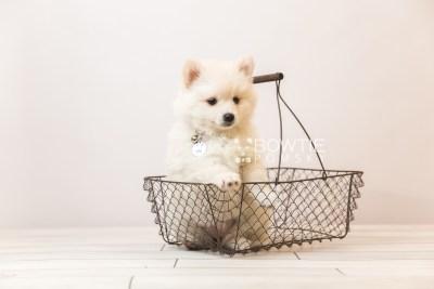 puppy92 week7 BowTiePomsky.com Bowtie Pomsky Puppy For Sale Husky Pomeranian Mini Dog Spokane WA Breeder Blue Eyes Pomskies Celebrity Puppy web5