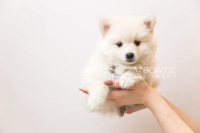 puppy92 week7 BowTiePomsky.com Bowtie Pomsky Puppy For Sale Husky Pomeranian Mini Dog Spokane WA Breeder Blue Eyes Pomskies Celebrity Puppy web6