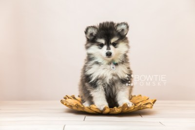 puppy93 week7 BowTiePomsky.com Bowtie Pomsky Puppy For Sale Husky Pomeranian Mini Dog Spokane WA Breeder Blue Eyes Pomskies Celebrity Puppy web2