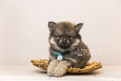 puppy94 week7 BowTiePomsky.com Bowtie Pomsky Puppy For Sale Husky Pomeranian Mini Dog Spokane WA Breeder Blue Eyes Pomskies Celebrity Puppy web3