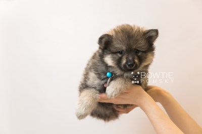 puppy94 week7 BowTiePomsky.com Bowtie Pomsky Puppy For Sale Husky Pomeranian Mini Dog Spokane WA Breeder Blue Eyes Pomskies Celebrity Puppy web6