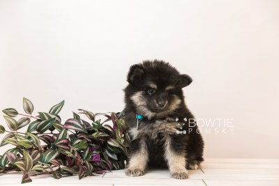 puppy95 week7 BowTiePomsky.com Bowtie Pomsky Puppy For Sale Husky Pomeranian Mini Dog Spokane WA Breeder Blue Eyes Pomskies Celebrity Puppy web1