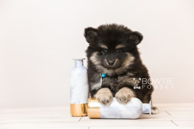 puppy95 week7 BowTiePomsky.com Bowtie Pomsky Puppy For Sale Husky Pomeranian Mini Dog Spokane WA Breeder Blue Eyes Pomskies Celebrity Puppy web2
