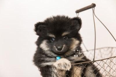 puppy95 week7 BowTiePomsky.com Bowtie Pomsky Puppy For Sale Husky Pomeranian Mini Dog Spokane WA Breeder Blue Eyes Pomskies Celebrity Puppy web3