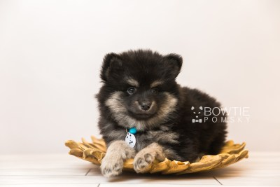 puppy95 week7 BowTiePomsky.com Bowtie Pomsky Puppy For Sale Husky Pomeranian Mini Dog Spokane WA Breeder Blue Eyes Pomskies Celebrity Puppy web4