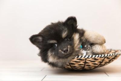 puppy95 week7 BowTiePomsky.com Bowtie Pomsky Puppy For Sale Husky Pomeranian Mini Dog Spokane WA Breeder Blue Eyes Pomskies Celebrity Puppy web5