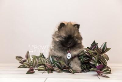 puppy96 week7 BowTiePomsky.com Bowtie Pomsky Puppy For Sale Husky Pomeranian Mini Dog Spokane WA Breeder Blue Eyes Pomskies Celebrity Puppy web3