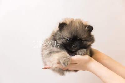 puppy96 week7 BowTiePomsky.com Bowtie Pomsky Puppy For Sale Husky Pomeranian Mini Dog Spokane WA Breeder Blue Eyes Pomskies Celebrity Puppy web4