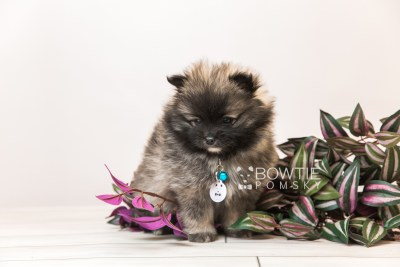 puppy97 week7 BowTiePomsky.com Bowtie Pomsky Puppy For Sale Husky Pomeranian Mini Dog Spokane WA Breeder Blue Eyes Pomskies Celebrity Puppy web3