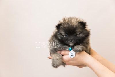 puppy97 week7 BowTiePomsky.com Bowtie Pomsky Puppy For Sale Husky Pomeranian Mini Dog Spokane WA Breeder Blue Eyes Pomskies Celebrity Puppy web6