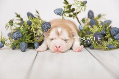 puppy100 week1 BowTiePomsky.com Bowtie Pomsky Puppy For Sale Husky Pomeranian Mini Dog Spokane WA Breeder Blue Eyes Pomskies Celebrity Puppy web2