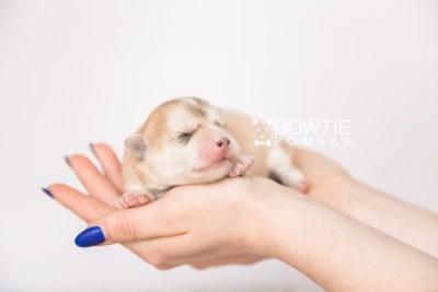 puppy100 week1 BowTiePomsky.com Bowtie Pomsky Puppy For Sale Husky Pomeranian Mini Dog Spokane WA Breeder Blue Eyes Pomskies Celebrity Puppy web6