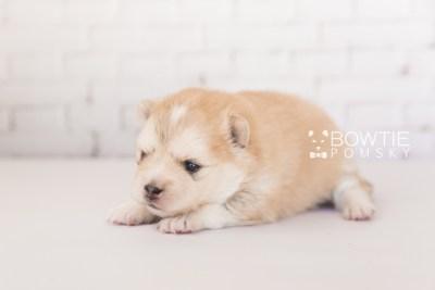 puppy100 week3 BowTiePomsky.com Bowtie Pomsky Puppy For Sale Husky Pomeranian Mini Dog Spokane WA Breeder Blue Eyes Pomskies Celebrity Puppy web2