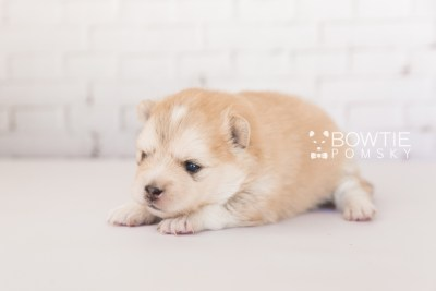 puppy100 week3 BowTiePomsky.com Bowtie Pomsky Puppy For Sale Husky Pomeranian Mini Dog Spokane WA Breeder Blue Eyes Pomskies Celebrity Puppy web2