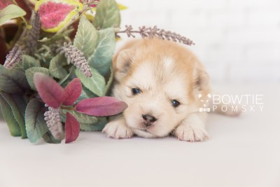 puppy100 week3 BowTiePomsky.com Bowtie Pomsky Puppy For Sale Husky Pomeranian Mini Dog Spokane WA Breeder Blue Eyes Pomskies Celebrity Puppy web3