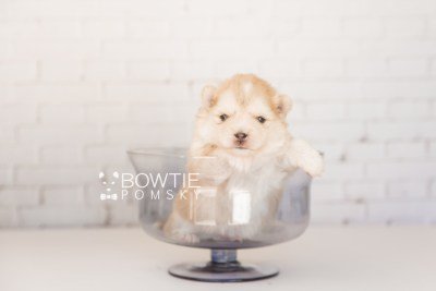 puppy100 week3 BowTiePomsky.com Bowtie Pomsky Puppy For Sale Husky Pomeranian Mini Dog Spokane WA Breeder Blue Eyes Pomskies Celebrity Puppy web6