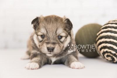 puppy101 week3 BowTiePomsky.com Bowtie Pomsky Puppy For Sale Husky Pomeranian Mini Dog Spokane WA Breeder Blue Eyes Pomskies Celebrity Puppy web3