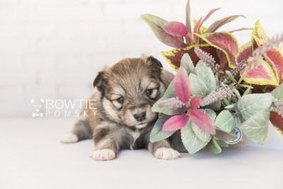 puppy101 week3 BowTiePomsky.com Bowtie Pomsky Puppy For Sale Husky Pomeranian Mini Dog Spokane WA Breeder Blue Eyes Pomskies Celebrity Puppy web4