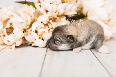 puppy102 week1 BowTiePomsky.com Bowtie Pomsky Puppy For Sale Husky Pomeranian Mini Dog Spokane WA Breeder Blue Eyes Pomskies Celebrity Puppy web3