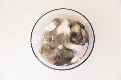 puppy102 week3 BowTiePomsky.com Bowtie Pomsky Puppy For Sale Husky Pomeranian Mini Dog Spokane WA Breeder Blue Eyes Pomskies Celebrity Puppy web1