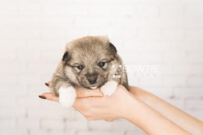 puppy102 week3 BowTiePomsky.com Bowtie Pomsky Puppy For Sale Husky Pomeranian Mini Dog Spokane WA Breeder Blue Eyes Pomskies Celebrity Puppy web5
