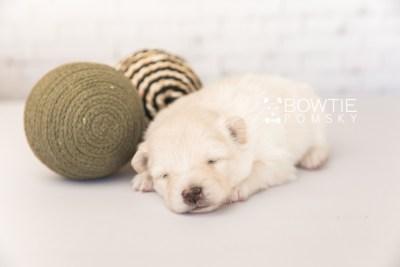 puppy103 week3 BowTiePomsky.com Bowtie Pomsky Puppy For Sale Husky Pomeranian Mini Dog Spokane WA Breeder Blue Eyes Pomskies Celebrity Puppy web2