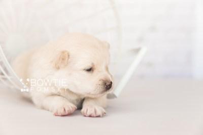 puppy103 week3 BowTiePomsky.com Bowtie Pomsky Puppy For Sale Husky Pomeranian Mini Dog Spokane WA Breeder Blue Eyes Pomskies Celebrity Puppy web4