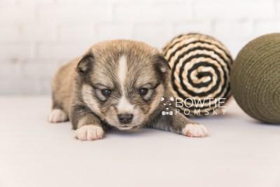 puppy99 week3 BowTiePomsky.com Bowtie Pomsky Puppy For Sale Husky Pomeranian Mini Dog Spokane WA Breeder Blue Eyes Pomskies Celebrity Puppy web2