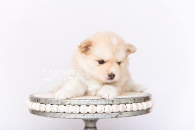 puppy100 week5 BowTiePomsky.com Bowtie Pomsky Puppy For Sale Husky Pomeranian Mini Dog Spokane WA Breeder Blue Eyes Pomskies Celebrity Puppy web5