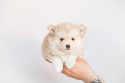 puppy100 week7 BowTiePomsky.com Bowtie Pomsky Puppy For Sale Husky Pomeranian Mini Dog Spokane WA Breeder Blue Eyes Pomskies Celebrity Puppy web1