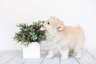 puppy100 week7 BowTiePomsky.com Bowtie Pomsky Puppy For Sale Husky Pomeranian Mini Dog Spokane WA Breeder Blue Eyes Pomskies Celebrity Puppy web3