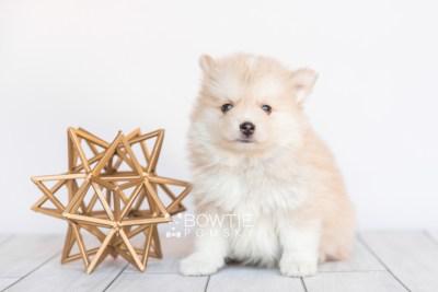 puppy100 week7 BowTiePomsky.com Bowtie Pomsky Puppy For Sale Husky Pomeranian Mini Dog Spokane WA Breeder Blue Eyes Pomskies Celebrity Puppy web4