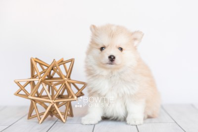 puppy100 week7 BowTiePomsky.com Bowtie Pomsky Puppy For Sale Husky Pomeranian Mini Dog Spokane WA Breeder Blue Eyes Pomskies Celebrity Puppy web4