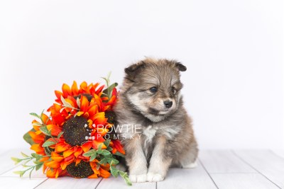 puppy101 week5 BowTiePomsky.com Bowtie Pomsky Puppy For Sale Husky Pomeranian Mini Dog Spokane WA Breeder Blue Eyes Pomskies Celebrity Puppy web1