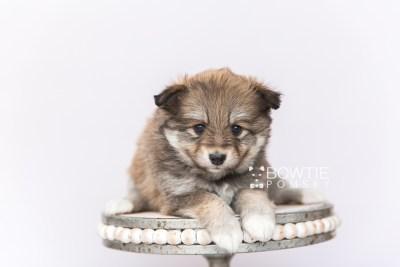 puppy101 week5 BowTiePomsky.com Bowtie Pomsky Puppy For Sale Husky Pomeranian Mini Dog Spokane WA Breeder Blue Eyes Pomskies Celebrity Puppy web3