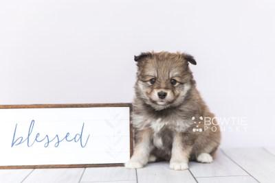 puppy101 week5 BowTiePomsky.com Bowtie Pomsky Puppy For Sale Husky Pomeranian Mini Dog Spokane WA Breeder Blue Eyes Pomskies Celebrity Puppy web4