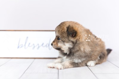 puppy101 week5 BowTiePomsky.com Bowtie Pomsky Puppy For Sale Husky Pomeranian Mini Dog Spokane WA Breeder Blue Eyes Pomskies Celebrity Puppy web5