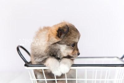puppy101 week5 BowTiePomsky.com Bowtie Pomsky Puppy For Sale Husky Pomeranian Mini Dog Spokane WA Breeder Blue Eyes Pomskies Celebrity Puppy web6