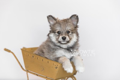 puppy101 week7 BowTiePomsky.com Bowtie Pomsky Puppy For Sale Husky Pomeranian Mini Dog Spokane WA Breeder Blue Eyes Pomskies Celebrity Puppy web4